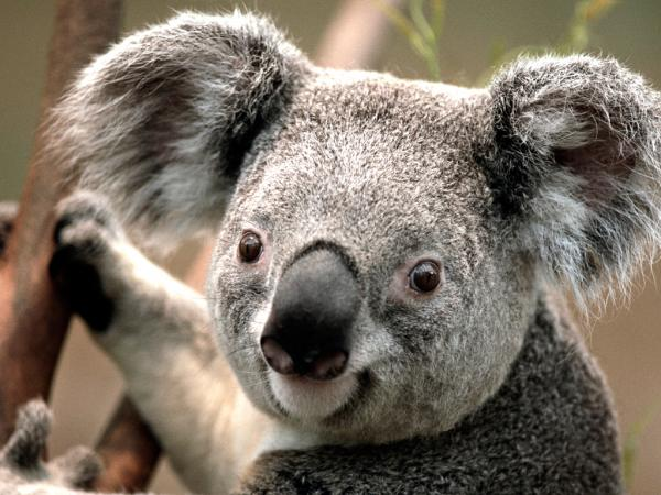 Name:  Koala.jpg